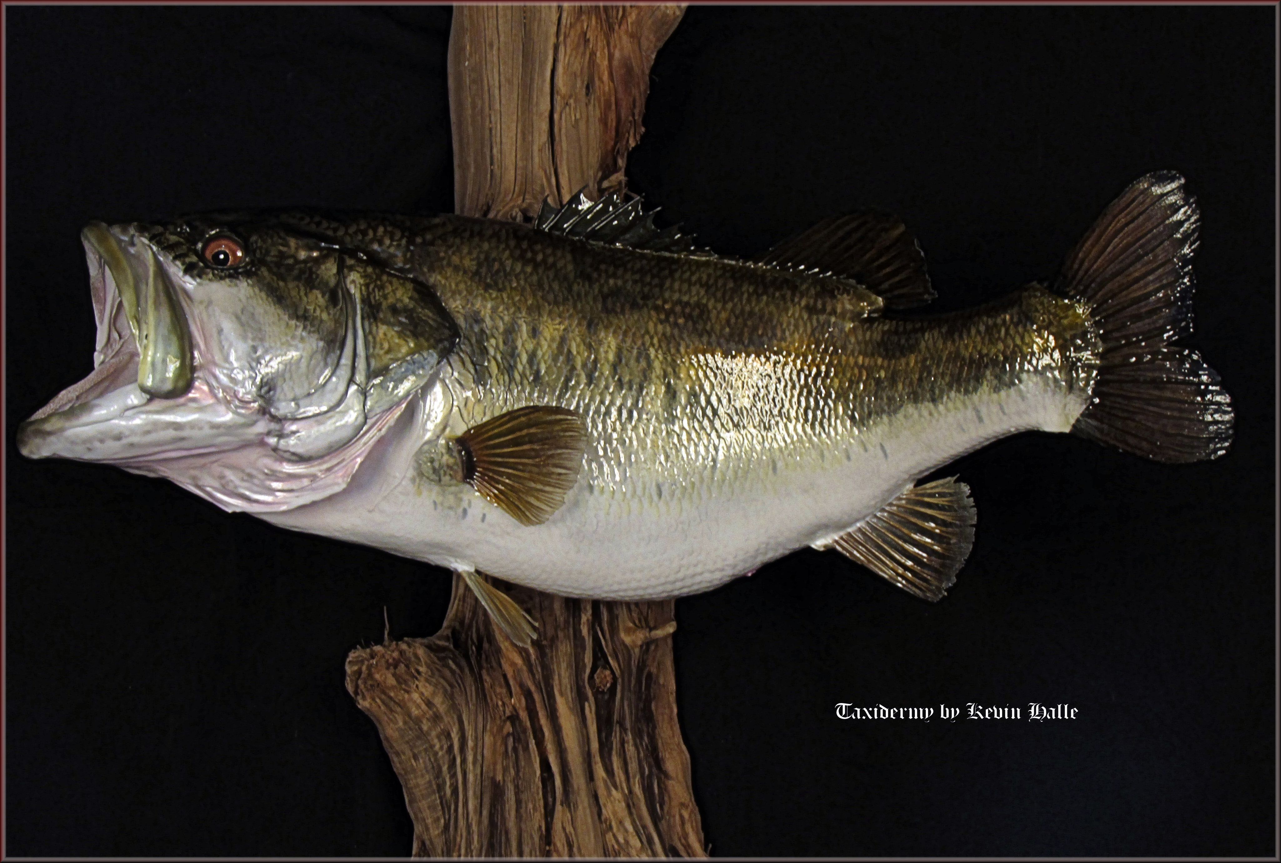 how to cook freshwater bass