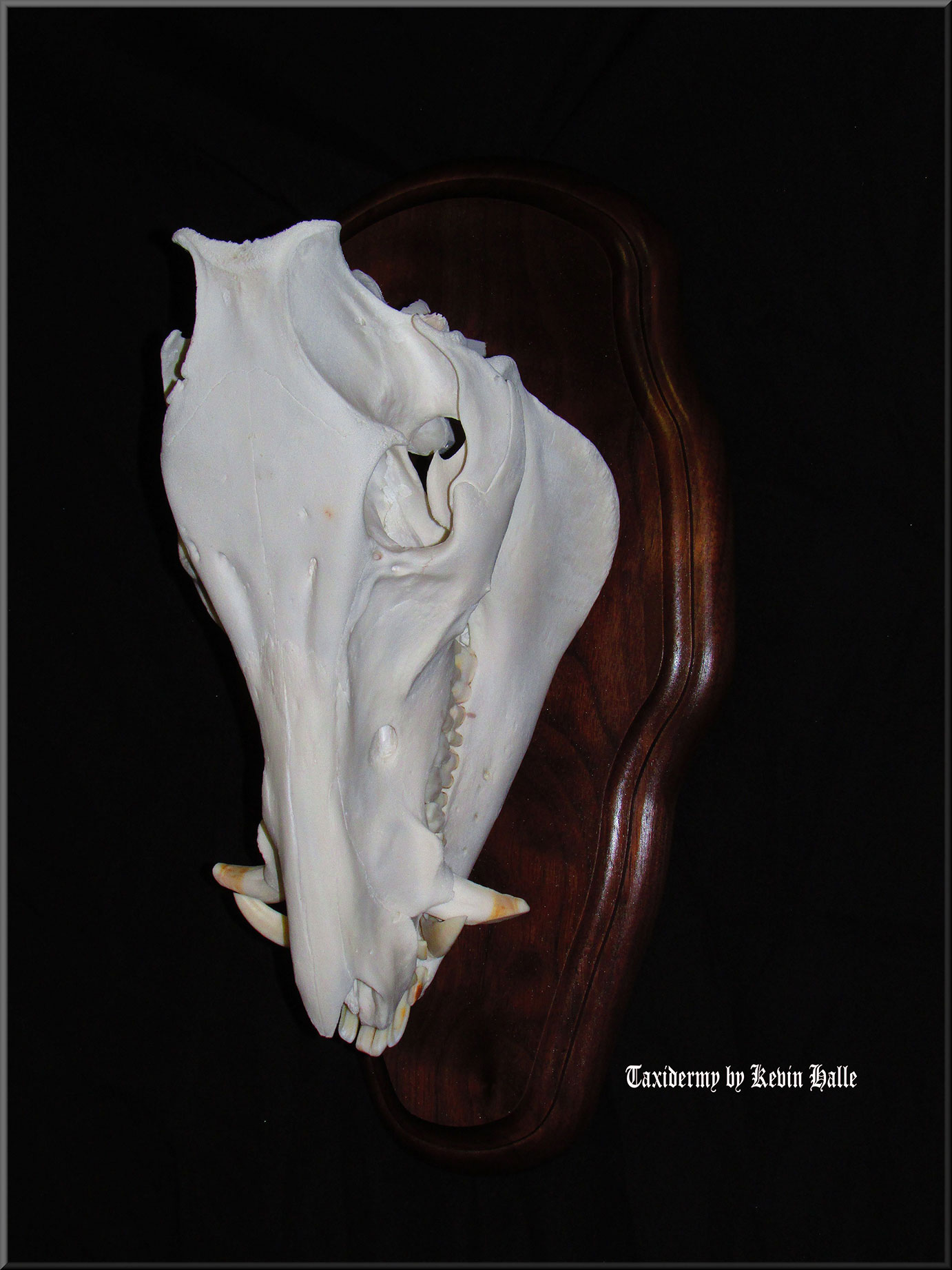 Taxidermy How To Hog Skull to European Mount