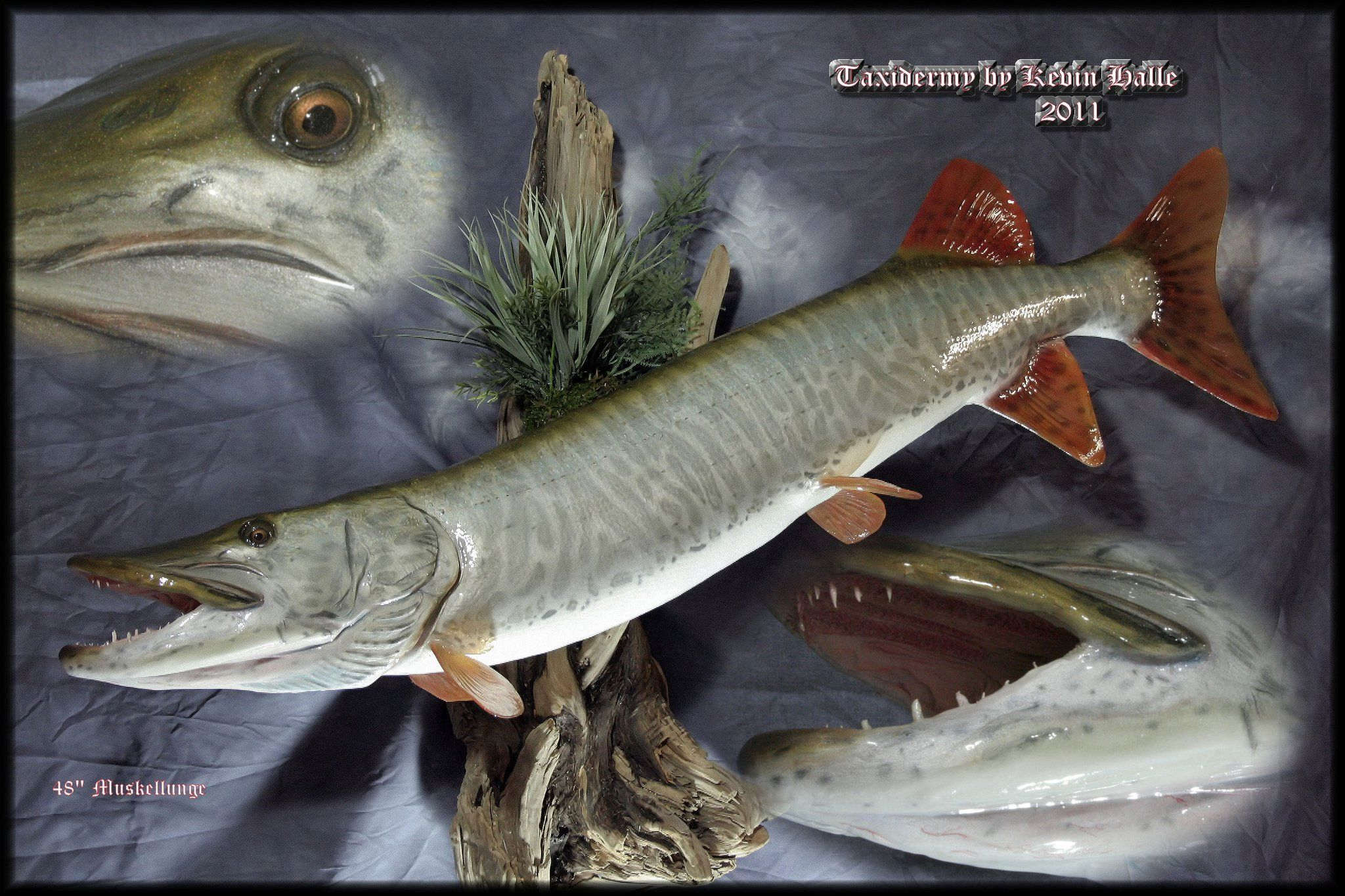 Freshwater fish in georgia -  Freshwater Fish Taxidermy By Kevin Halle St Mary S Ga 31558