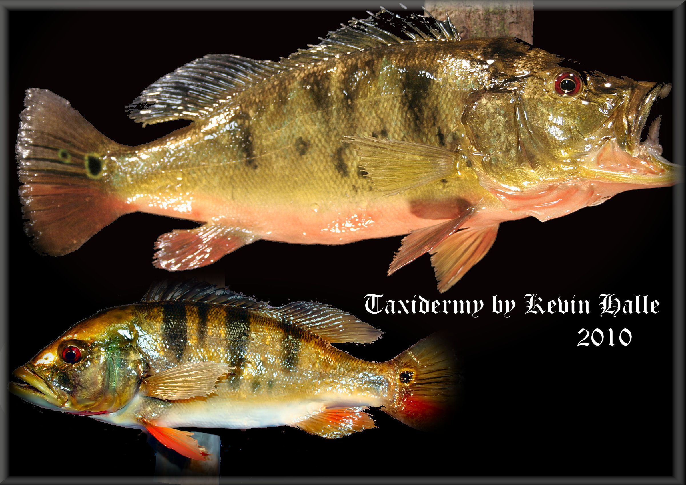 Freshwater fish of florida -  Thumbnail Image Of A Peacock Bass Freshwater Fish Taxidermy By Kevin Halle