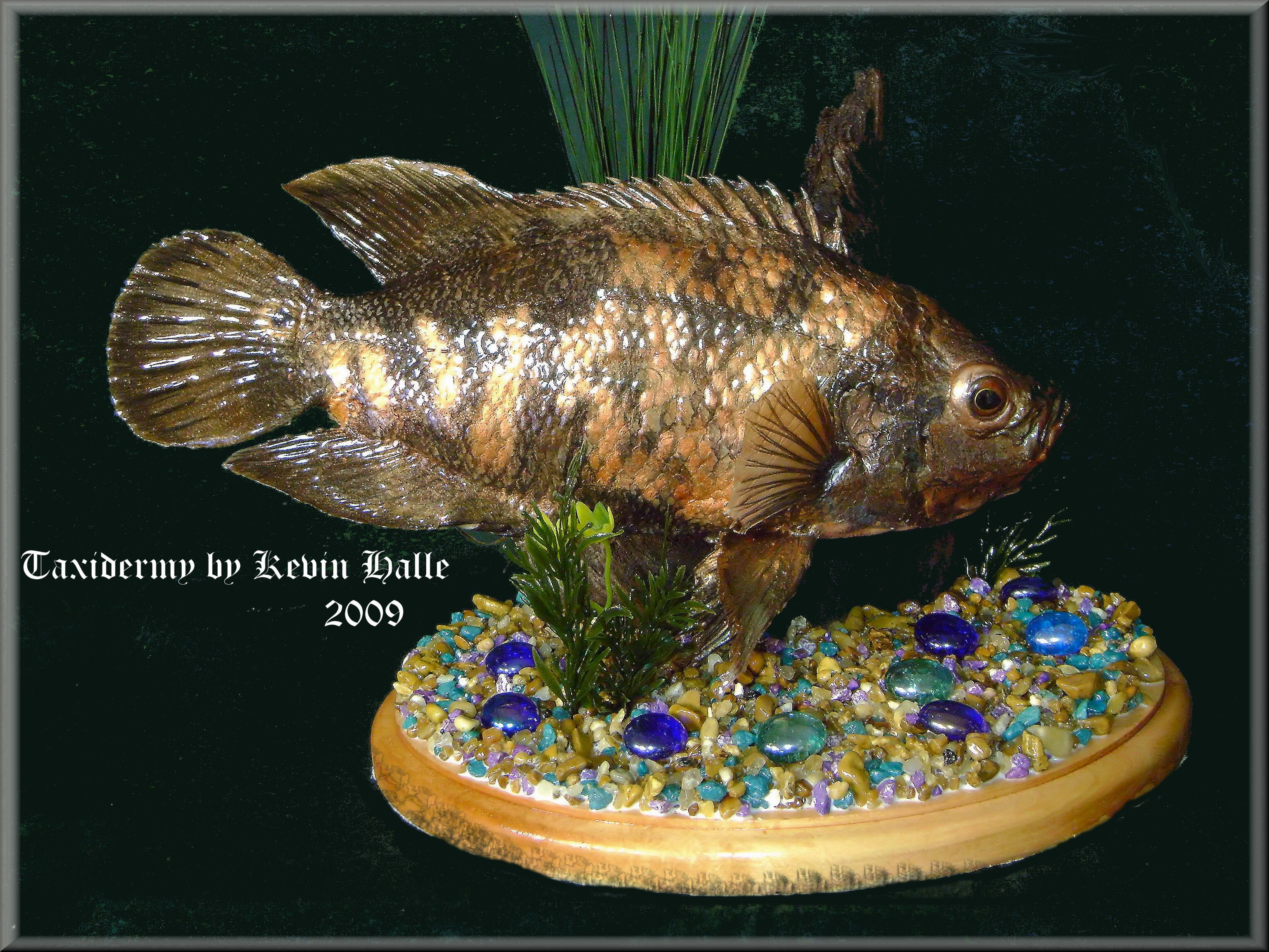 Freshwater fish of florida - Thumbnail Image Of A Freshwater Fish Taxidermy By Kevin Halle St Mary S
